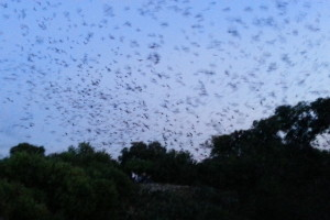 Bats taking flight from Bracken Bat Cave