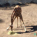 Catch a Long Neck at the San Antonio Zoo!