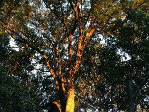 Sunset on a live oak tree | Alamo City Moms Blog