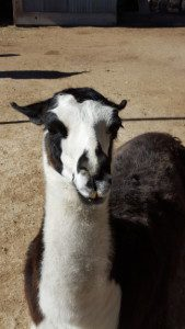 Llama, llama . . . went to the Snake Farm?