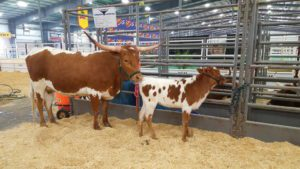 A mama Longhorn and her not-so-Little at this year's rodeo.