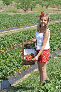 Picking strawberries at Marburger Orchard near Fredericksburg, Texas | Alamo City Moms Blog
