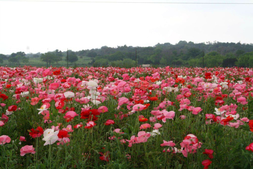 Field of poppies at Wildseed Farms near Fredericksburg, Texas | Alamo City Moms Blog