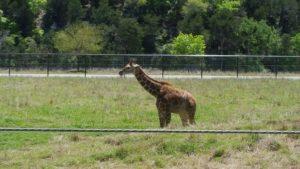 Deak, the 22nd baby giraffe born at the ranch.