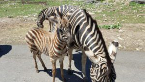 A baby zebra hanging close to mama, but curious to know if we had treats.