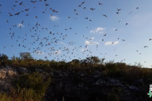 Bats emerging from Frio Cave