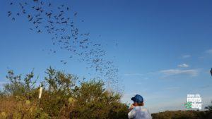 A ribbon of bats headed off to find dinner