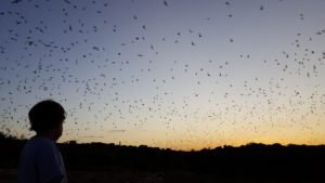 Watching the bats fill the sky as the sun slips below the horizon.
