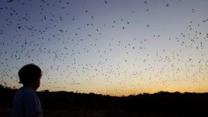 Watching the bats fill the sky as the sun slips below the horizon.