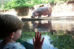 Saying hello to hippos at the zoo.