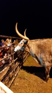 One of Santa's Longhorns hanging out at Christmas Light Fest.