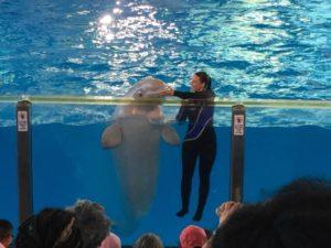 Beluga whale and trainer at Beluga Theater at SeaWorld San Antonio   Alamo City Moms Blog