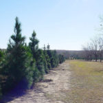 Christmas Tree Farms: Pick Your Own Tree!