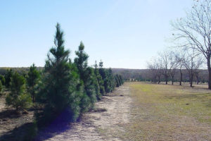 Seiler's Christmas Tree & Pecan Farm