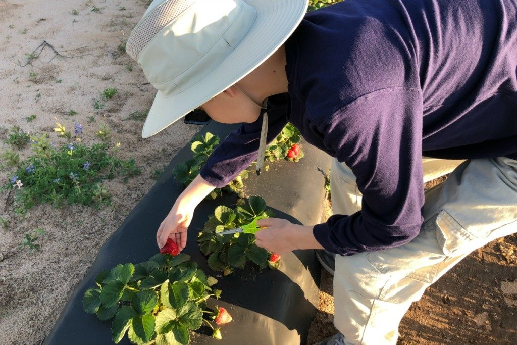 Picking our own strawberries at Strawberryville Farm in Poteet, Texas | Alamo City Moms Blog