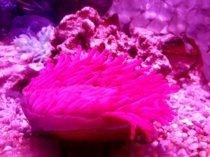 a pink anenome in a touch pool