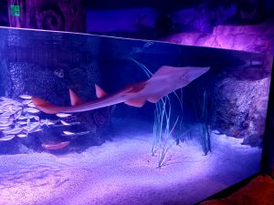 A guitarfish swimming in SEA Life's stingray bay