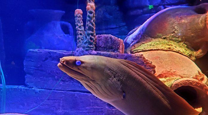 a green moray eel in a tank